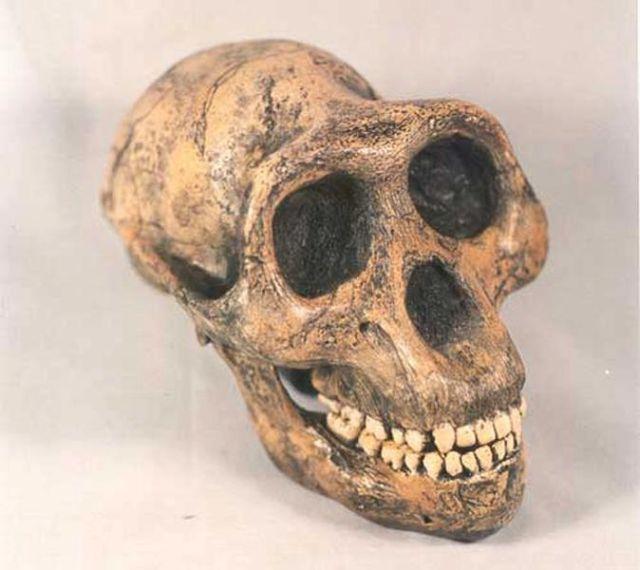 Il cranio dell'Australopithecus afarensis