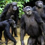 Un gruppo di scimpanzé