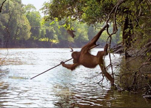 Un orango utilizza un bastone per pescare