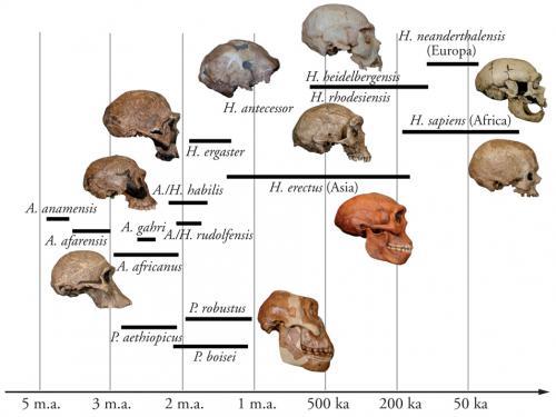 L'albero dell'evoluzione umana come ricostruito al momento
